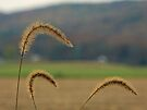 Grass Seed Stalks by Susan S. Kline