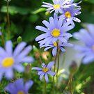 Blue Sunshine, The Flower  by ArleneMartine