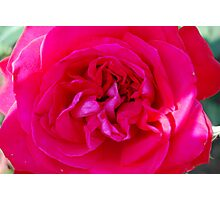 Enchanted Rose, The Flower, Rome 2009 Photographic Print