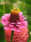 Pink Zinnia by Ron Russell