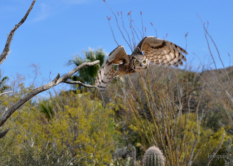 Great horned owl taking off - photo#5