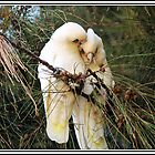 A pair Of Corellas in Smoochy Mood by alycanon