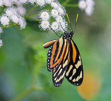 Isabella's longwing by PhotosByHealy