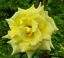 Yellow Rose Wild by pcfyi