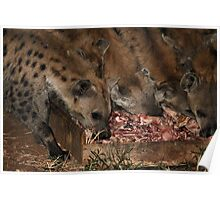 Spotted Hyena Scavenging at Night Poster