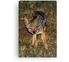 Side-striped Jackal at Night Canvas Print