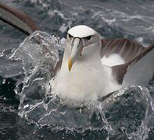Buller's Albatross by Steve Axford