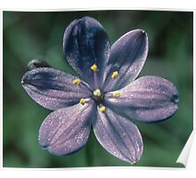 Pale purple waxy flower Maybe an Orthosanthus (Iridaceae) 19820829 0032 Poster