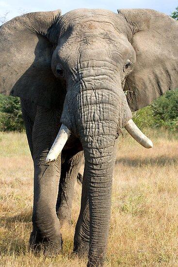 Bull Elephant In Full Musth by Michael  Moss
