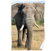 Bull Elephant In Full Musth Poster