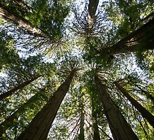 Coastal Redwood Trees by Ross Campbell