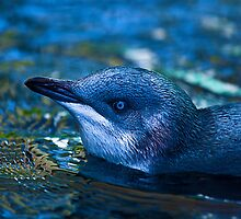 Little blue Penguin by Andrew Berends