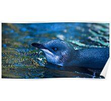 Little blue Penguin Poster