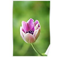 Anemone opening up Poster