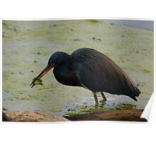 Blue Heron Having Lunch Poster