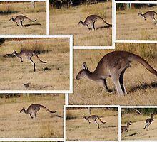 Kangaroos  Hopping by alycanon