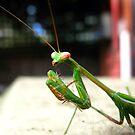 Praying Mantis by Tania  Donald