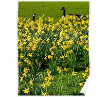 enjoying the view of the daffodils Poster