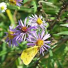 Yellow Sulphur on Wild Aster by Ron Russell