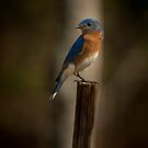 Male Eastern Blue Bird by Joe Jennelle