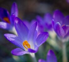The Spring Crocus by Aaron Campbell