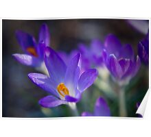 The Spring Crocus Poster