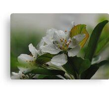 Spring Blossom 2012 01 Canvas Print