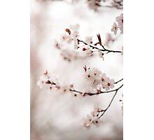 Cherry Plum Blossom Photographic Print