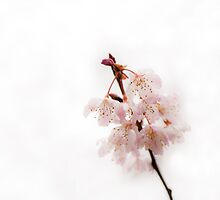 Soft Cherry Plum by Anne Gilbert