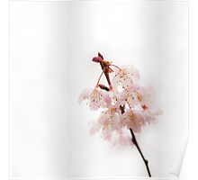 Soft Cherry Plum Poster
