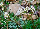 Hairy Bittercress - Cardamine hirsuta by MotherNature