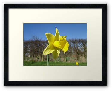 Yellow Daffodil and Blue Sky by Barrie Woodward
