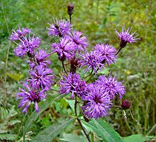 New York Ironweed Wildflower - Vernonia noveboracensis by MotherNature