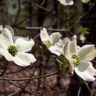 Dogwood Blossoms by BluePhoenix