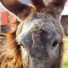 Up Close and Personal with Hargroves&#x27; Mule by WildestArt