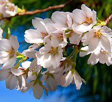 Yoshino Cherry Blossoms by BluePhoenix