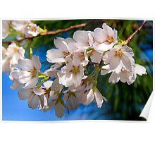 Yoshino Cherry Blossoms Poster