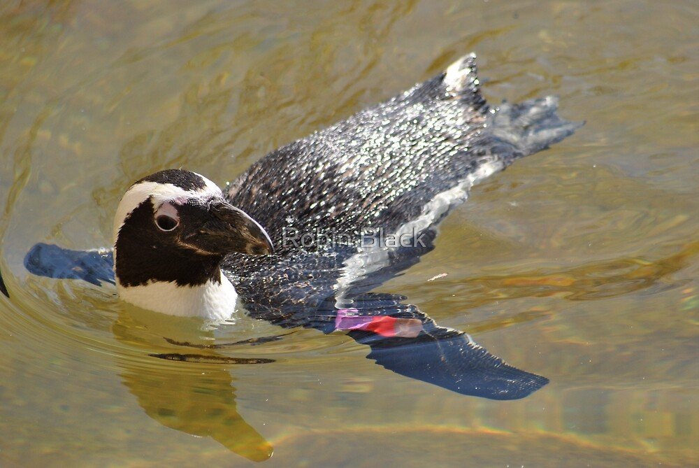 Swimming Penguin by Robin Lee