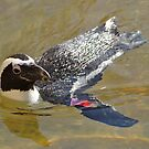 Swimming Penguin by Robin Black