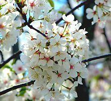 Cherry Blossom Time II by Scott Mitchell