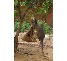 Kangaroo kicking a sack. Photographic Print