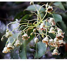 Flowers of the Kurrajong Tree Photographic Print