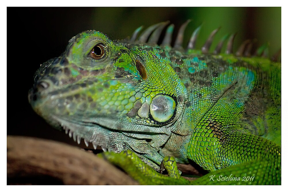 Iggy Iguana  by bluetaipan