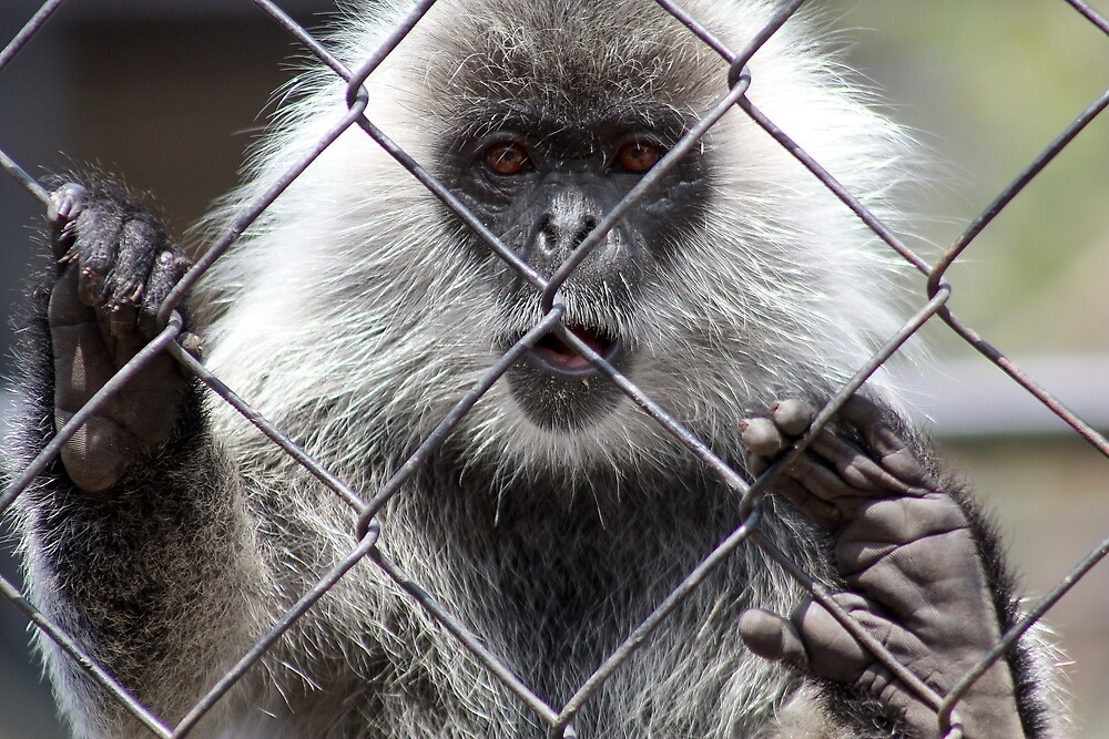 Monkey Behind The Wire by jweeks