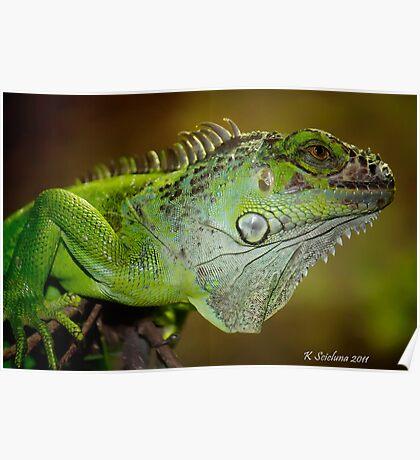 Staring iguana Poster