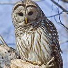 Barred Owl # 2 by Wayne Wood