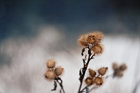 Dry Thistle by Vicki Field