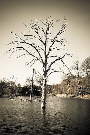 Old Tree in Lake by redfibres