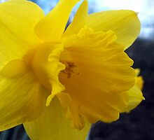 Daffodils At Beeston Tor by Paul  Green
