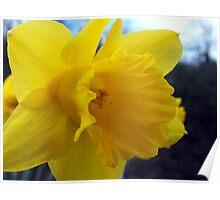 Daffodils At Beeston Tor Poster